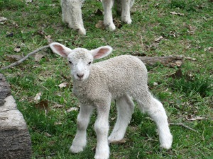 Our newest bottle lamb, born on May 4, 2013.