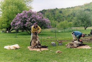 Shearing the sheep, May 2007