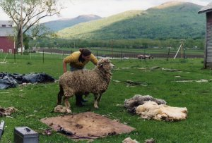 Liz Willis preparing to shear Ewedora