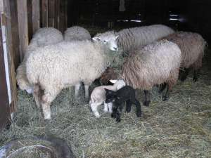 Two-day old lambs with Ewelysses at breakfast.